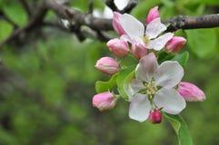 Rosafarbene weiße Blumen Stockfoto
