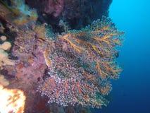 Rosafarbene weiche Koralle Lizenzfreie Stockfotos