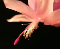 Rosafarbene Weihnachtskaktussblume Lizenzfreies Stockfoto