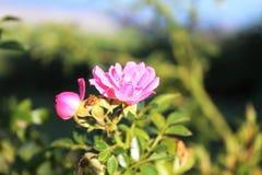 Rosafarbene wilde Blume Stockfoto