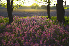 Rosafarbene wilde Blumen und Wald lizenzfreies stockbild