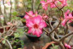 Rosafarbener Adenium Stockbild