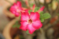 Rosafarbener Adenium Stockfotos
