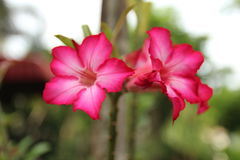 Rosafarbener Adenium Lizenzfreies Stockfoto