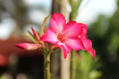 Rosafarbener Adenium Lizenzfreie Stockbilder