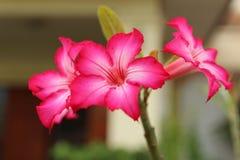 Rosafarbener Adenium Stockfotografie