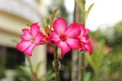 Rosafarbener Adenium Lizenzfreie Stockfotos