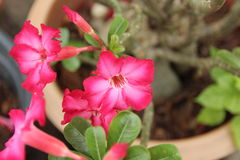 Rosafarbener Adenium Lizenzfreies Stockbild