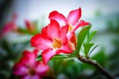 Rosafarbener Adenium Obesum Stockbilder