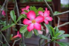 Rosafarbener Adenium Obesum Stockbild