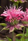 Rosafarbener Bienen-Balsam Stockfotos
