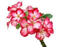 Rosafarbener Bignonia lizenzfreies stockfoto