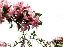 Rosafarbener blühender Baum Lizenzfreie Stockfotos