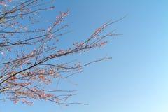 Rosafarbener Blütenbaum Stockbild