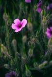 Rosafarbener Blumenfeldhintergrund Stockfoto