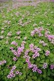 Rosafarbener Blumenfeldhintergrund Lizenzfreie Stockfotos