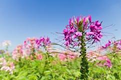 Rosafarbener Blumengarten Stockfotos