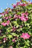 Rosafarbener Clematis stockfoto