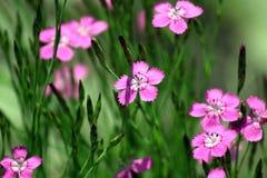 Rosafarbener Dianthus Lizenzfreies Stockfoto