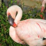 Rosafarbener Flamingo Lizenzfreies Stockfoto