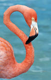 Rosafarbener Flamingo. Stockfotografie