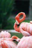 Rosafarbener Flamingo Lizenzfreies Stockbild