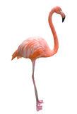 Rosafarbener Flamingo. Stockbild