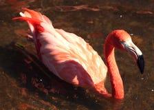 Rosafarbener Flamingo Stockbild