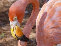 Rosafarbener Flamingo Stockfotografie