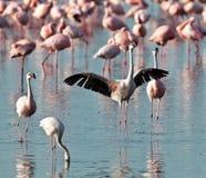Rosafarbener Flamingo breitete seine Flügel aus Stockbild