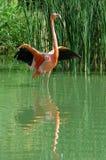Rosafarbener Flamingo, der für Flug vorbereitet Lizenzfreie Stockfotos