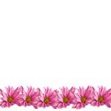 Rosafarbener Gänseblümchen-Rand auf Weiß Lizenzfreie Stockfotografie