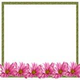 Rosafarbener Gänseblümchen-Rand auf Weiß Stockfoto