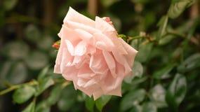 Rosafarbener Garten stieg Stockfoto
