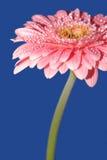 Rosafarbener Gerbera Stockfotografie