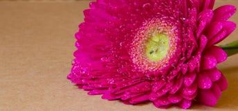 Rosafarbener Gerbera auf schwarzem Hintergrund Stockfotografie