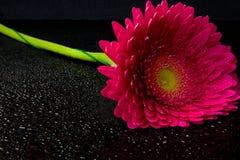 Rosafarbener Gerbera auf schwarzem Hintergrund Lizenzfreies Stockfoto