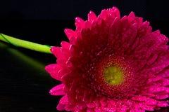 Rosafarbener Gerbera auf schwarzem Hintergrund Lizenzfreie Stockfotos