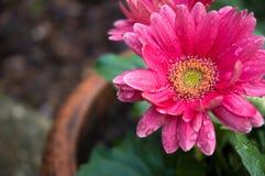Rosafarbener Gerbera in einem Garten Lizenzfreie Stockfotos
