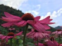 Rosafarbener Gerbera im Garten Stockfotografie