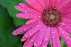 Rosafarbener Gerbera mit Wasser-Tropfen Stockfotos