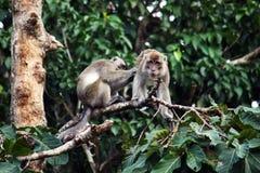rosafarbener Geschichte Macaque stockbild