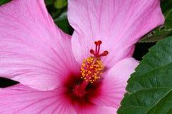 Rosafarbener Hibiscus Stockfoto
