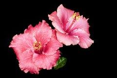 Rosafarbener Hibiscus Lizenzfreies Stockfoto