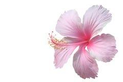Rosafarbener Hibiscus stockbilder