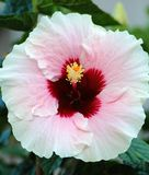 Rosafarbener Hibiscus Stockbild