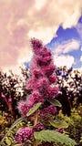 Rosafarbener Himmel Stockfotos