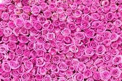 Rosafarbener Hintergrund des schönen Rosas Stockfoto