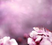 Rosafarbener Hintergrund mit Pflaumebaum-Blumenblüte stockbilder