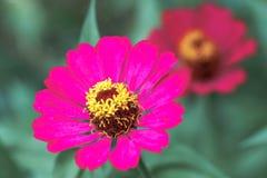 Rosafarbener Kosmos lizenzfreie stockfotos